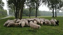 Natural grazing by sheep in the Schinkelbos